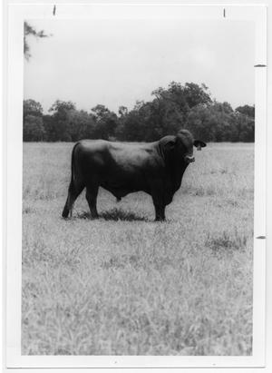 Primary view of object titled '[Bull in a pasture]'.