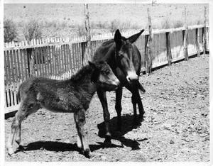 Primary view of object titled '[Two mules near fence]'.