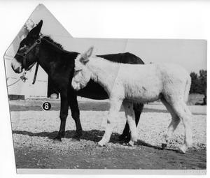 Primary view of object titled '[Albino colt and adult jack]'.