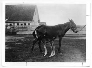 Primary view of object titled '[Two mules in front of a house]'.