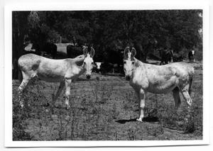 Primary view of object titled '[Two light-colored donkeys]'.