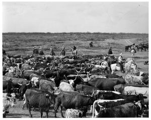 Primary view of object titled '[Field of Longhorn Cattle]'.