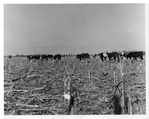Primary view of object titled '[Field of cattle]'.