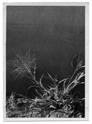 Primary view of object titled '[Common Witchgrass]'.