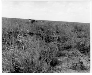 Primary view of object titled '[Cattle in a field]'.