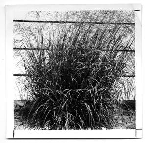 Primary view of object titled '[Photograph of a Kleingrass Plant]'.