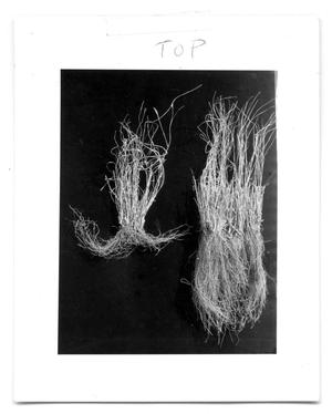 Primary view of object titled '[Photograph of Two Cenchrus Plants]'.