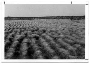 Primary view of object titled '[Field of Lovegrass]'.