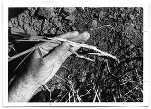 Primary view of object titled '[Photograph of Hand Holding Buffel Grass]'.