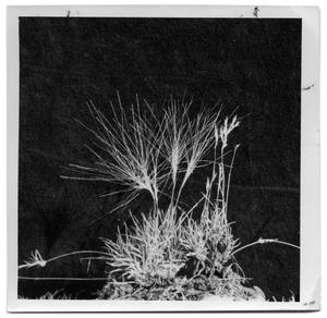 Primary view of object titled '[Burrograss plant with arms]'.