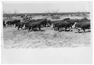 Primary view of object titled 'Cattle Bring Herded'.