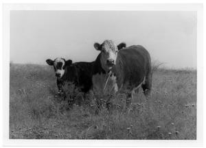 Primary view of object titled 'Steer and Calf'.