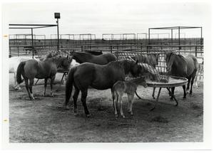 Primary view of object titled 'Quarter Horse Mares with Colts'.