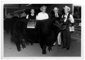 Primary view of object titled 'Grand Champion Aberdeen Angus Steer - San Antonio Livestock Exposition'.