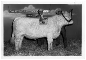 Primary view of object titled 'Award-Winning Bull at San Antonio Livestock Exposition'.