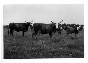 Primary view of object titled 'Crossbred Steers with Herd'.