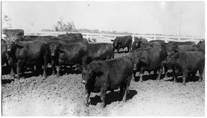 Primary view of object titled 'Aberdeen - Angus Cattle'.