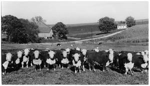 Primary view of object titled 'Hereford Cattle'.