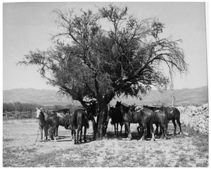 Primary view of object titled 'Horses Under a Tree'.
