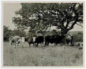Primary view of object titled 'Longhorn Cattle Under a Tree'.