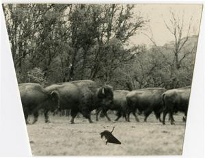 Primary view of object titled 'Herd of Buffalo'.