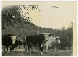 Primary view of object titled 'Longhorns on a Fenceline'.