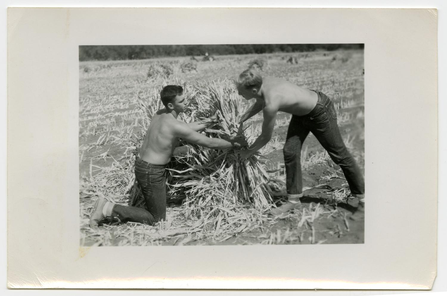 Agricultural and Animal Husbandry Students and Friends, Two Shirtless Men Harvesting, 1950's                                                                                                      [Sequence #]: 1 of 2