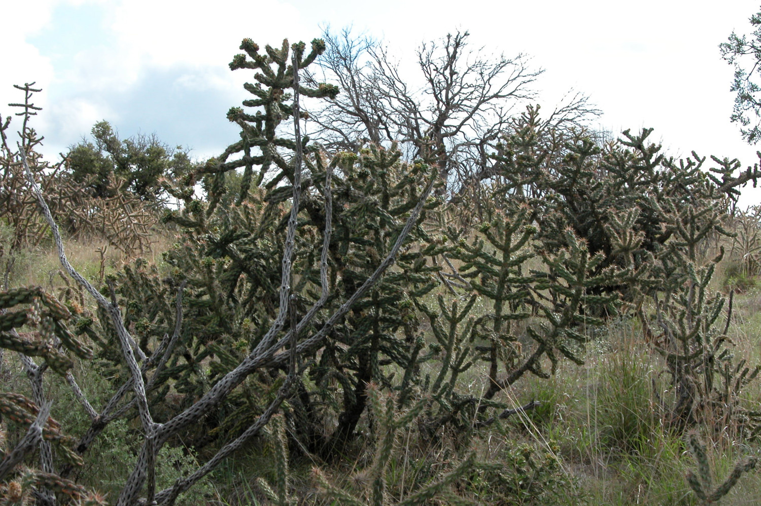 Cholla cactus                                                                                                      [Sequence #]: 1 of 1