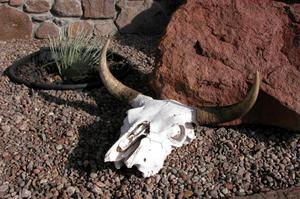 Primary view of object titled 'Cattle skull'.