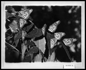 Primary view of object titled 'Butterflies on Leaves'.