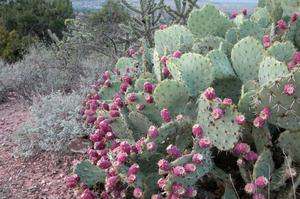 Primary view of object titled 'Davis Mountains State Park, prickly pear and cholla'.