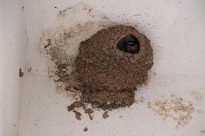 Primary view of object titled 'Cave Swallow nest'.