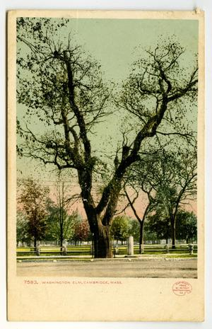 Primary view of object titled '[Postcard of Washington Elm in Cambridge]'.