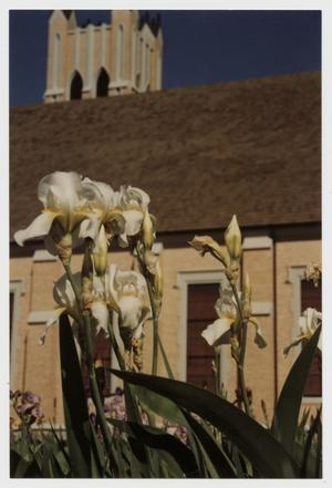 Primary view of object titled '[Photograph of Irises at McMurry]'.