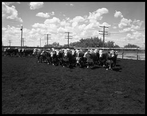 Primary view of object titled 'Cattle on Highway Eighty East'.