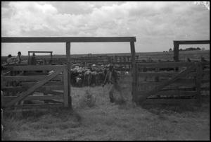 Primary view of object titled '[Photograph of Cattle in Corral]'.