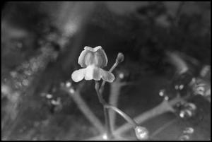 Primary view of object titled '[Photograph of Utricularia (Bladderwort) Plant]'.