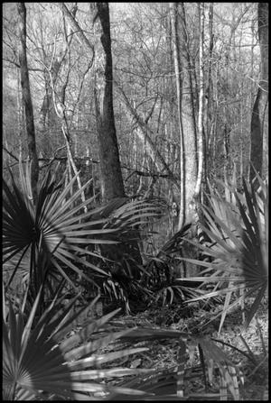 Primary view of object titled '[Photograph of Palmetto Bog in The Big Thicket]'.