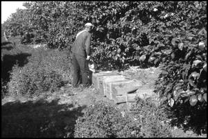 Primary view of object titled '[Photograph of Man Picking Fruit]'.