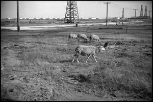 Primary view of object titled '[Photograph of Sheep at Lucas Gusher Site]'.