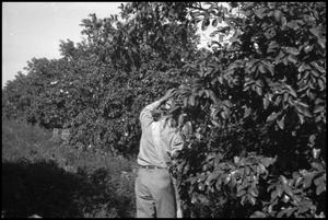 Primary view of object titled '[Photograph of a Man Picking Fruit]'.