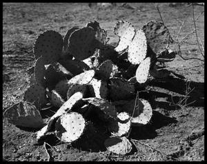Primary view of object titled 'Cactus'.