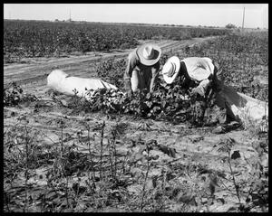 Primary view of object titled 'Cotton Picking'.