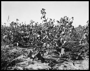 Primary view of object titled 'Cotton Field'.