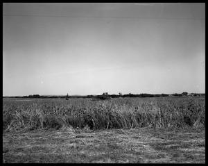 Crops at Miles and Winters, Texas