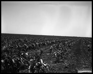 Primary view of object titled 'Crops at Miles and Winters, Texas'.