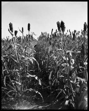 Primary view of object titled 'Crops at Miles and Winters, Texas #2'.