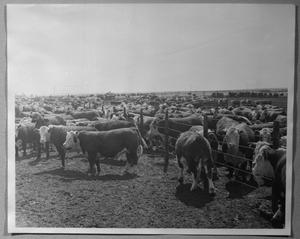Primary view of object titled '[Cattle In Feed Yards]'.