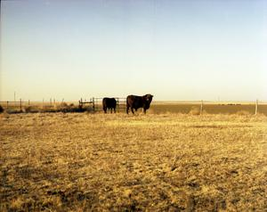 Primary view of object titled '[Two Cattle Next to Gate]'.