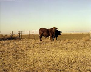 Primary view of object titled '[Two Cattle Near Gate]'.